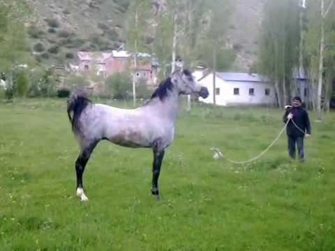 Arap Atı Murathan