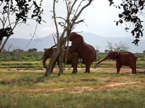 Elephants mating at Tsavo National Park, Kenya