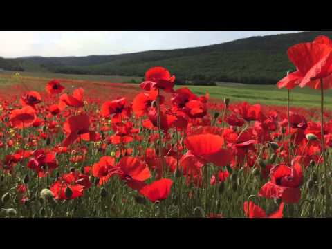 Маки! Цветущие поля. Крым