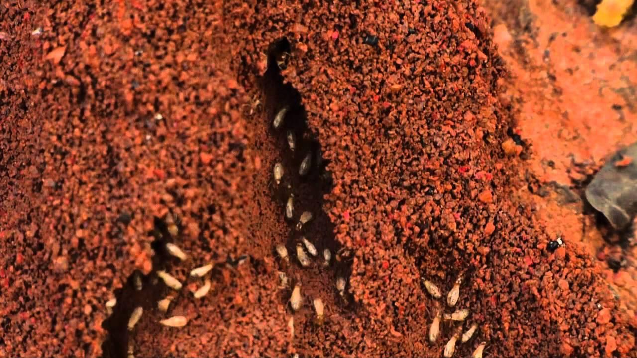 Information On Termites Termite Colony Youtube