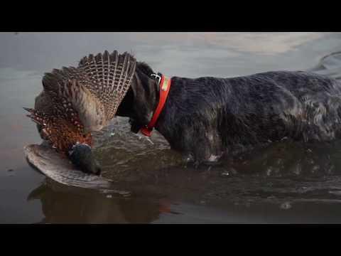 Pheasant Hunting In Georgia With Bird Dogs