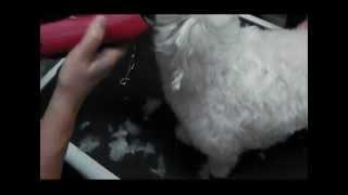 Hundepflege eines Malteser Trimmen, Schneiden Scheren biggis-hundefriseur-schule.de 10_25-10_55