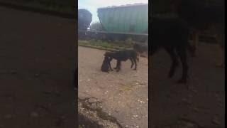 Метис со щенками из Абхазии. Сломана задняя лапка