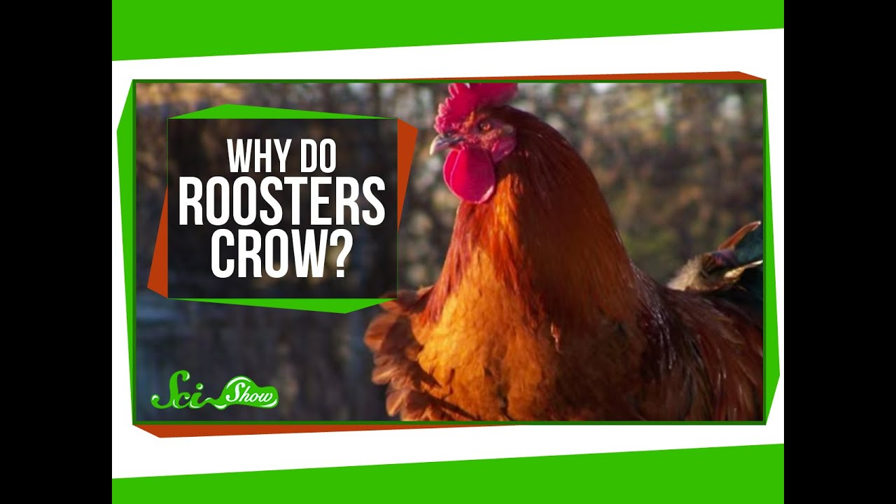 Roosters Have Special Ears So They Don't Crow Themselves To