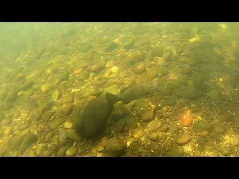 South Umpqua River, Small Mouth Bass