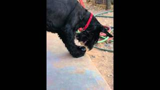 Itsy, The Giant Schnauzer Ball Roller