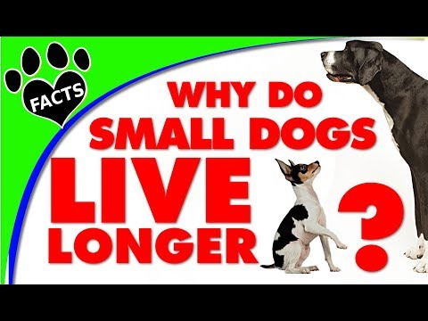 Dog Years: Why Do Small Dogs Live Longer Lives than Larger Breeds - Animal Facts
