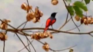 Scarlet Minivet male @ Maredumilli - East Godavari district - Andhra Pradesh