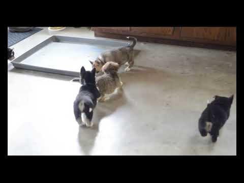 Siborgi Puppies For Sale