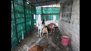 Eid Slaughter For Goats