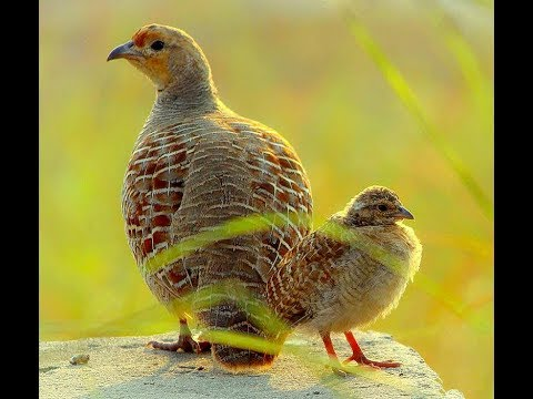 Grey Francolin Voice (Sindhi Teetar Voice) - Grey Francolin Call