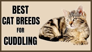 Cats 101 : Best Cat Breeds for Cuddling