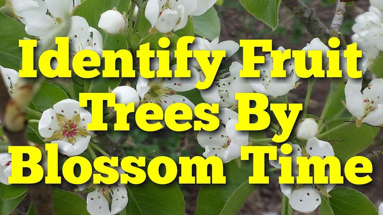 Identify Fruit Trees By Blossoming Time Youtube