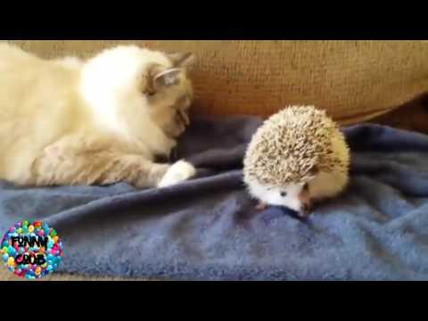 ESSAYEZ DE NE PAS RIRE ! Vidéo Drôle de chat vidéos les plus drôles.mp4
