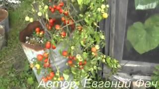 видео Выращиваем ампельные томаты.. Обсуждение на LiveInternet