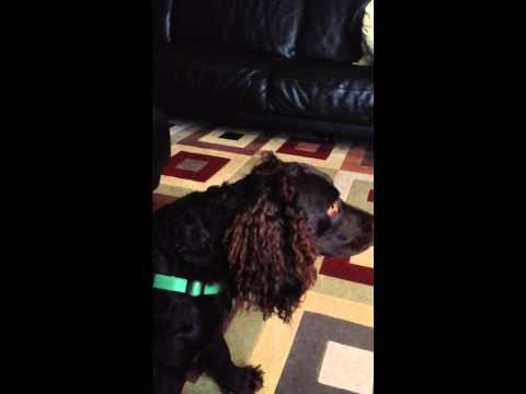 Charley the american water spaniel
