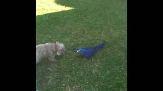 Hyacinth Macaw Vs Cairn Terrier