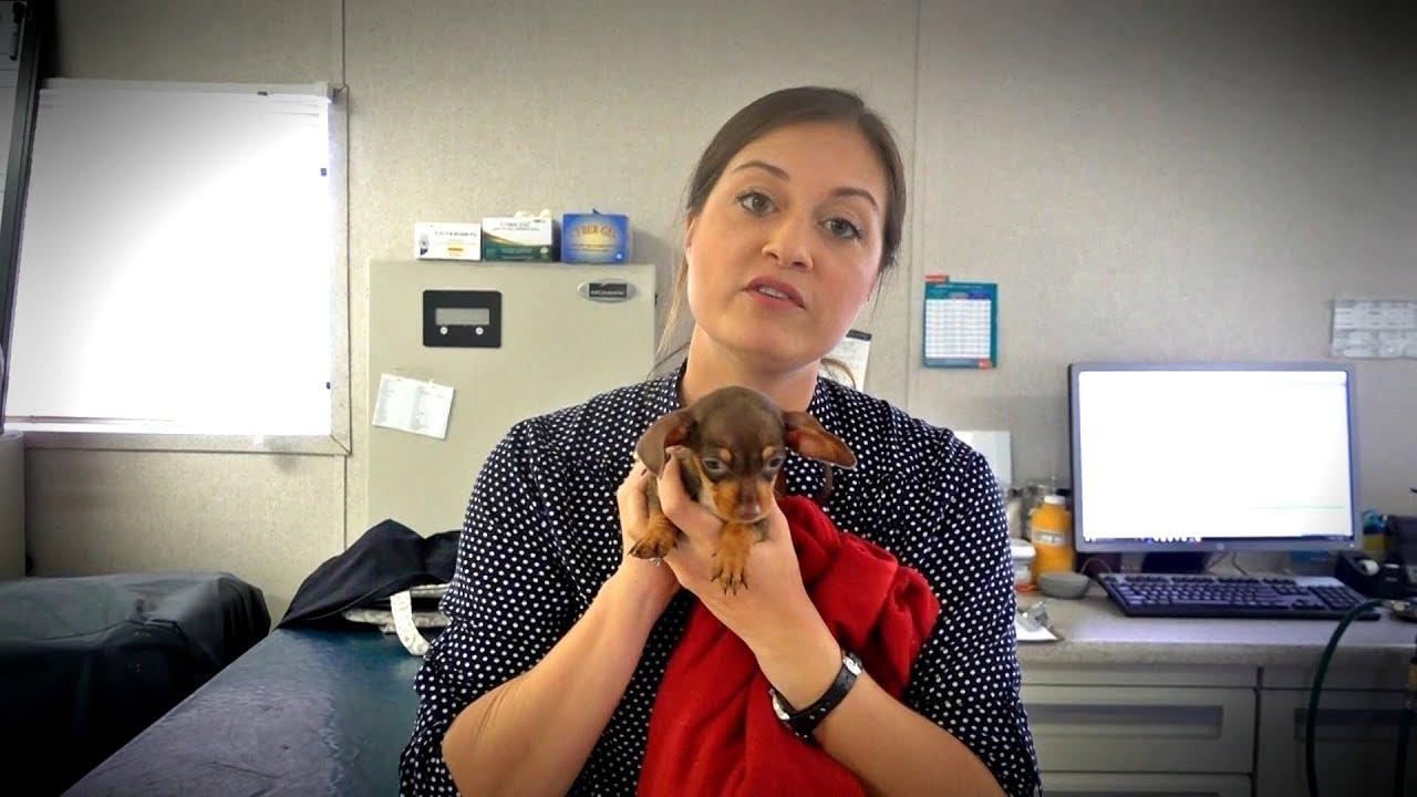 tiny-puppy-big-hernia