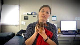 Tiny Puppy, Big Hernia