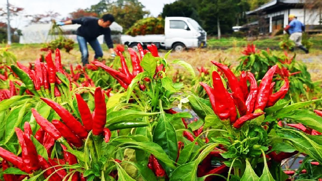 Hawk Claw Chilies - Japan Chili Farming and Harvest - Japanese traditional spices