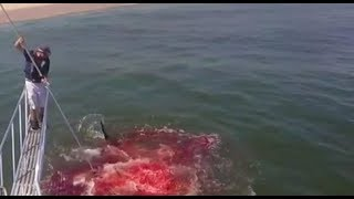 GRAPHIC: Shark eats seal right in front of Atlantic White Shark Conservancy research team