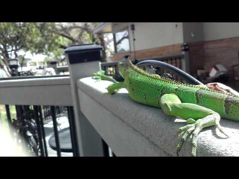 Iguanas vacation outside
