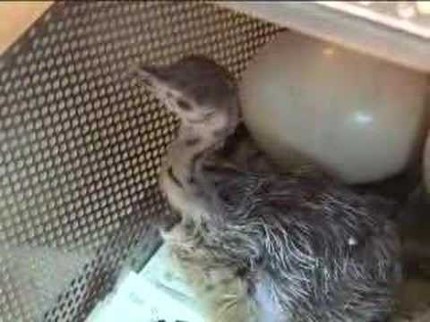 See an Ostrich Egg Hatch Video - YouTube