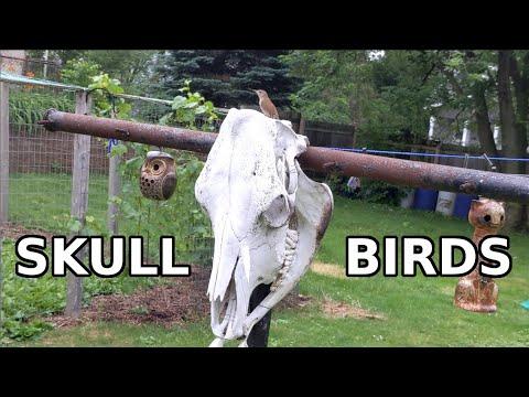 Skull Birds (Wrens Nesting In A Cow Skull)