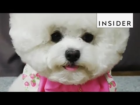 This Bichon Frise Is South Korea's Puppy Fashionista