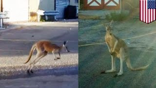 Escaped animals: illegal pet kangaroo escapes New York City home, is chased by police - TomoNews