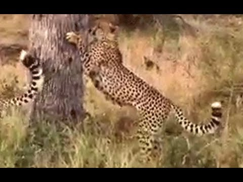2 Cheetahs Marking Territory - 8 June 2013 - Latest Sightings