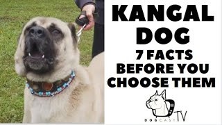 Before you buy a dog  THE KANGAL  7 facts to consider! DogCastTV!