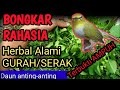 Pleci Serak Herbal Ampuh Daun Anting Anting Gurah Pleci  Work  Mp3 - Mp4 Download