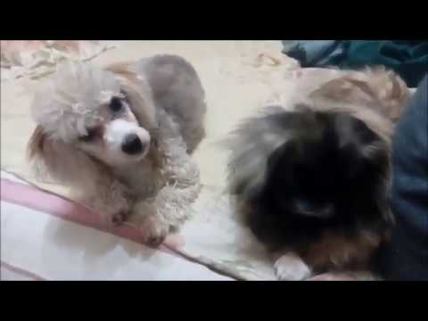 Неумытый пекинес - YouTube
