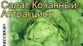 Салат кочанный Аттракцион. Краткий обзор, описание характеристик, где купить семена lactuca sativa