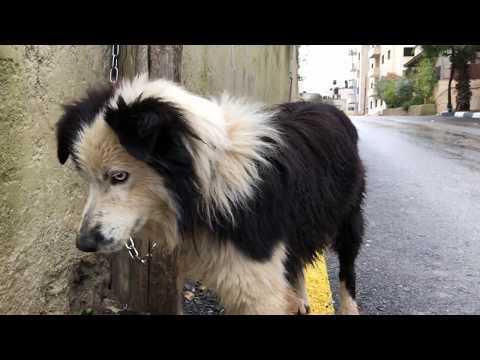 اذكى كلب بالعالم البوردر كولي عندما يشعر ان صاحبه في خطر مع جمال العمواسي