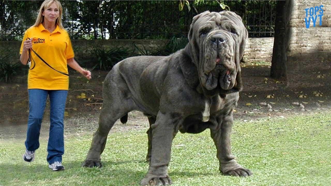 Top 10 Perros Más Grandes Del Mundo Youtube