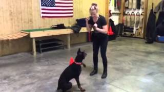 """Female Doberman """"fauna"""" Play Training W Ball Obedience Trained Protection Dog For Sale"""