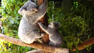 Cute Baby Koala with its mother at Australia Zoo