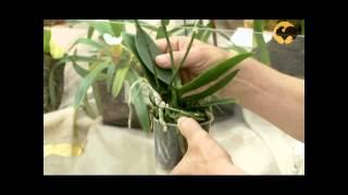 Орхидеи  уход, полив, пересадка, освещение(, 2014-06-22T11:46:10.000Z)