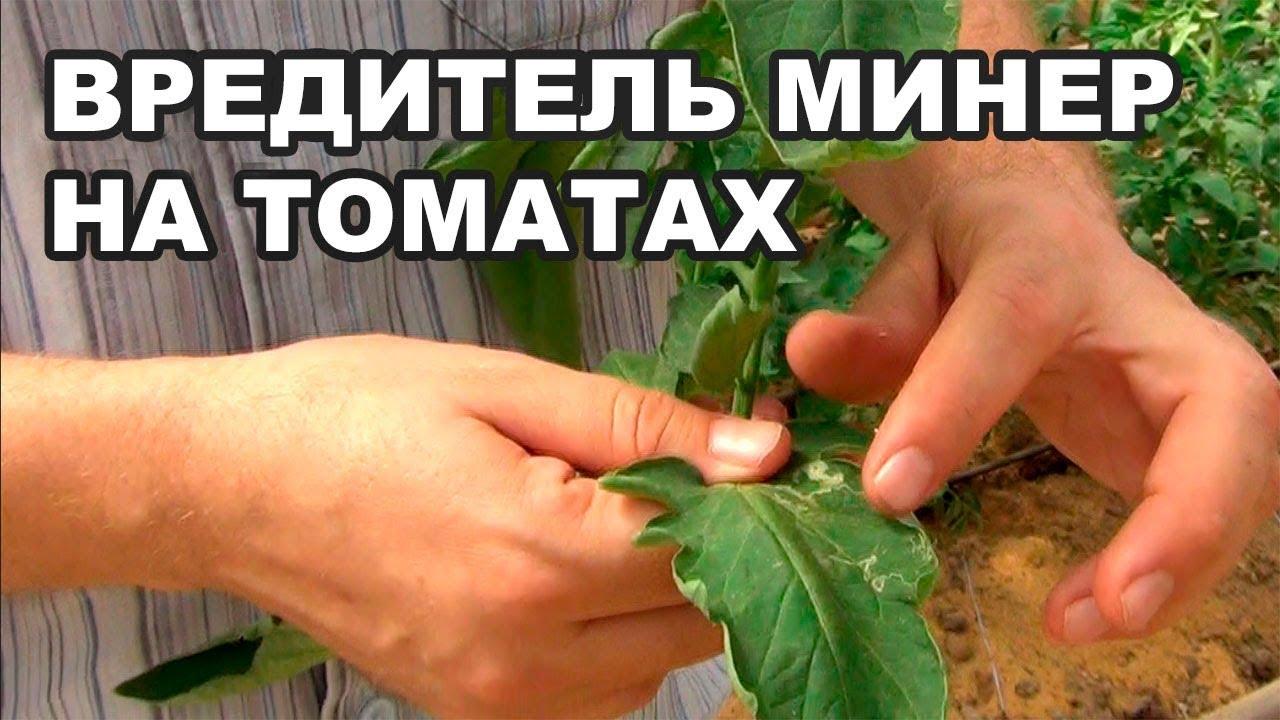Как бороться с вредителями минером и белокрылкой на листе помидора? (19-08-2018)
