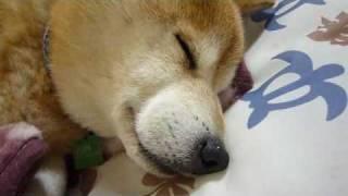 http://junnosippo.blog71.fc2.com/ 柴犬&チワワ×2&コーギー雑種&預か...