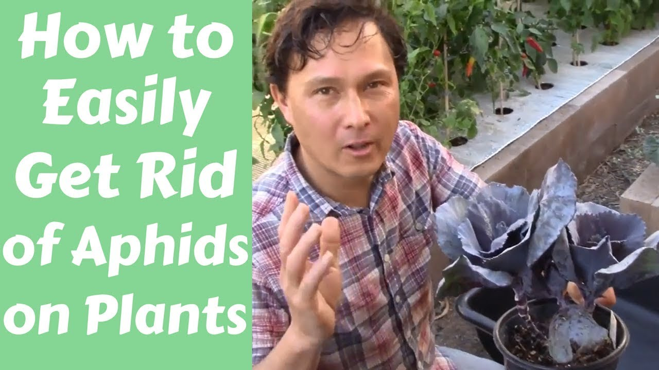 How To Easily Get Rid Of Aphids On Plants - Youtube-6576