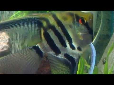 Angelfish Colour Change Fading Stripes Light To Dark Repeatedly