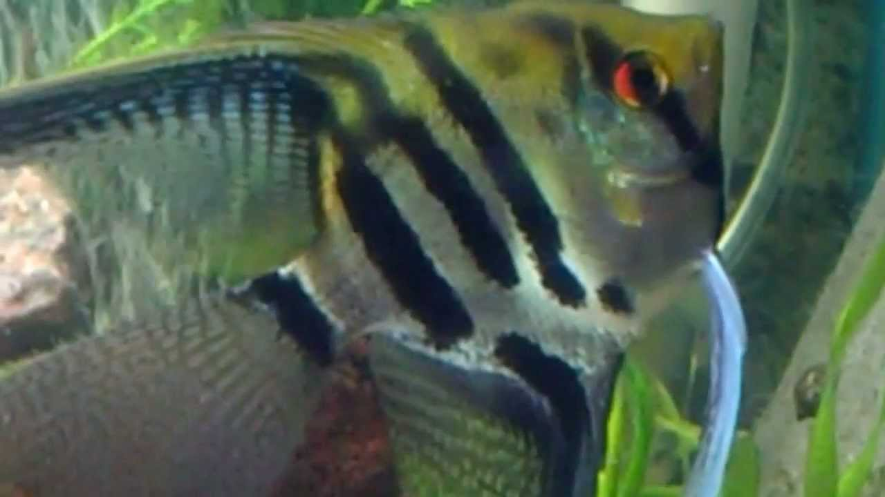 angelfish colour change fading stripes light to dark repeatedly ...