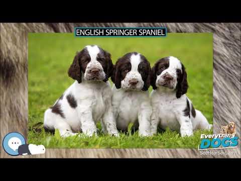 English Springer Spaniel  Everything Dogs