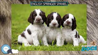 English Springer Spaniel  Everything Dogs