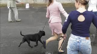 Стаффордширский бультерьер окрас черный, видео с выставки собак