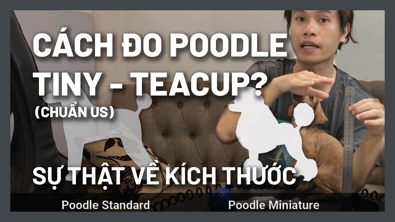Cách đo kích thước Poodle – Teacup? Tiny? Toy? Mini? Standard?   BossDog