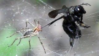 ПАУК И ПЧЕЛА (spider attacks xylocopa valga)